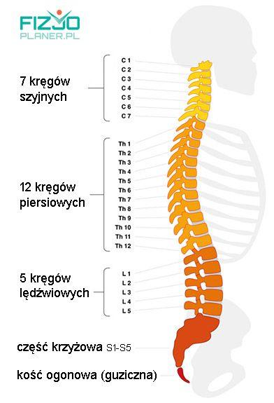 anatomia kręgosłupa