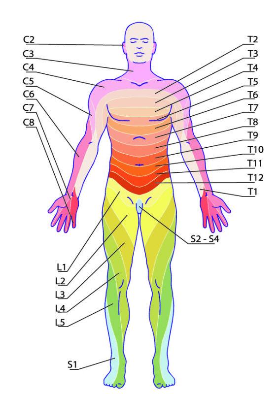 Dermatomy przód
