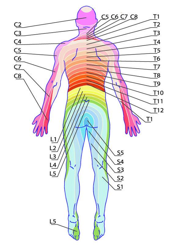 Dermatomy tył