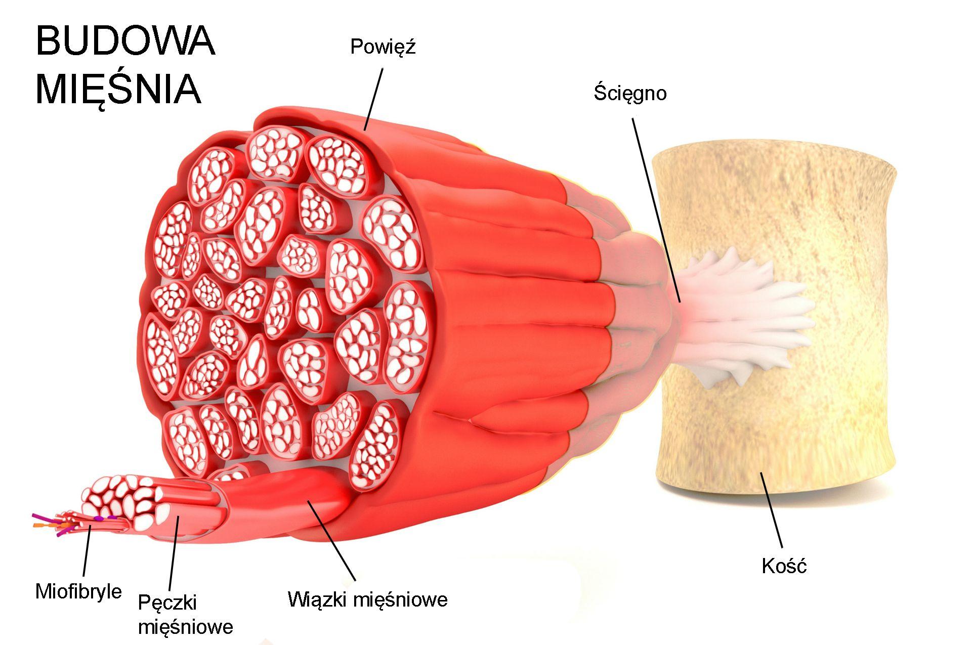 Budowa mięśnia