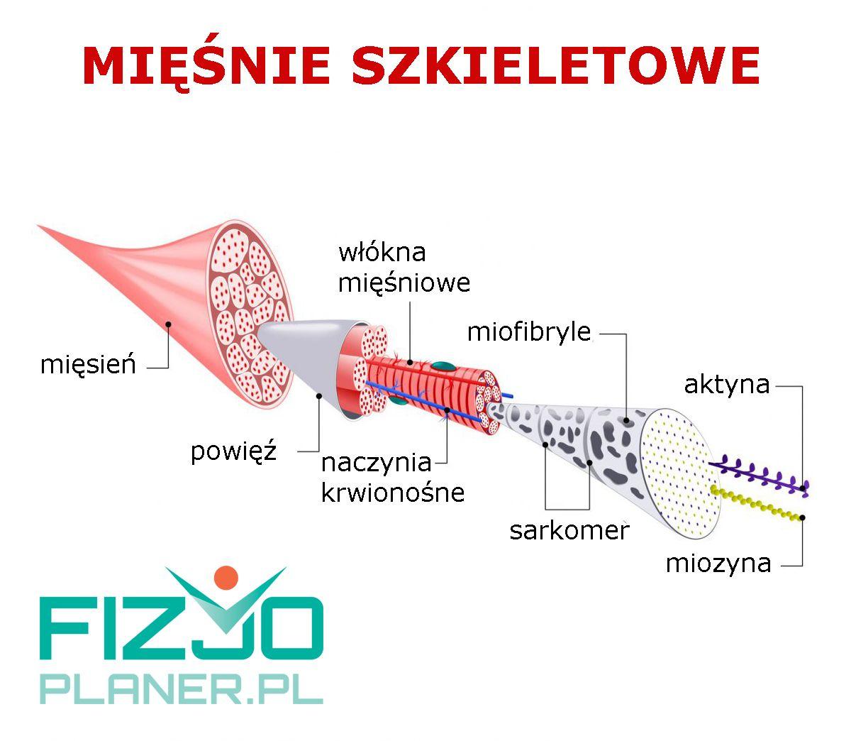 budowa mięśni szkieletowych