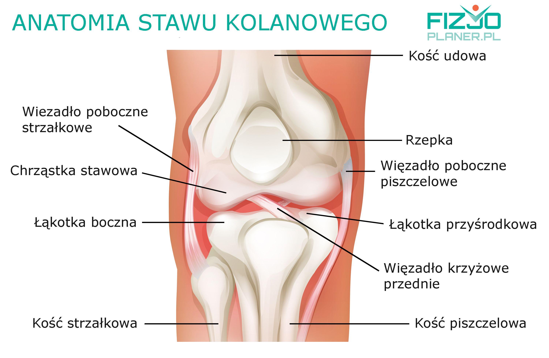 Anatomia stawu kolanowego - Fizjoplaner.pl