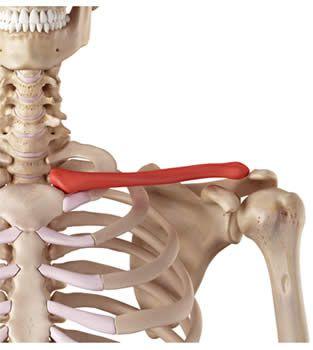 obojczyk anatomia