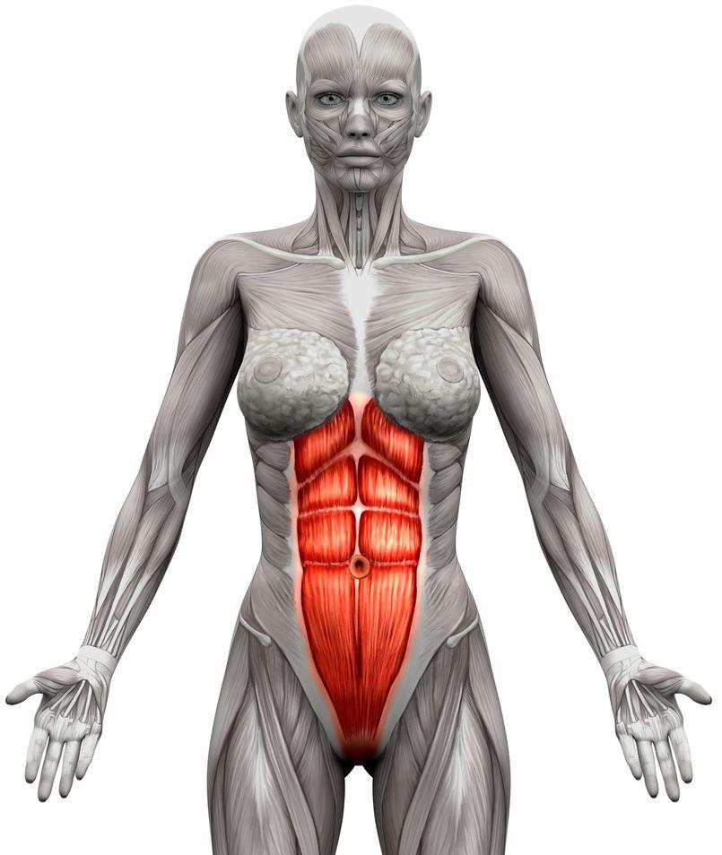 anatomia mięśni brzucha