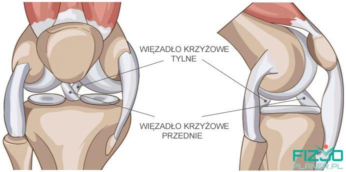 anatomia kolana - więzadło krzyżowe przednie i tylne