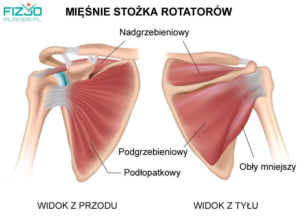 Mięśnie stożka rotatorów - anatomia