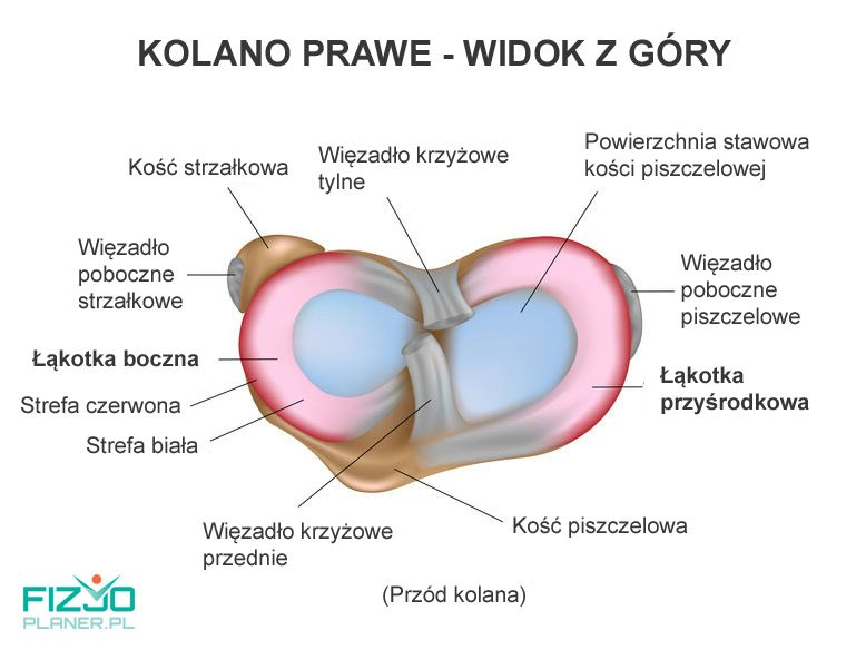 Anatomia łąkotki, kolano