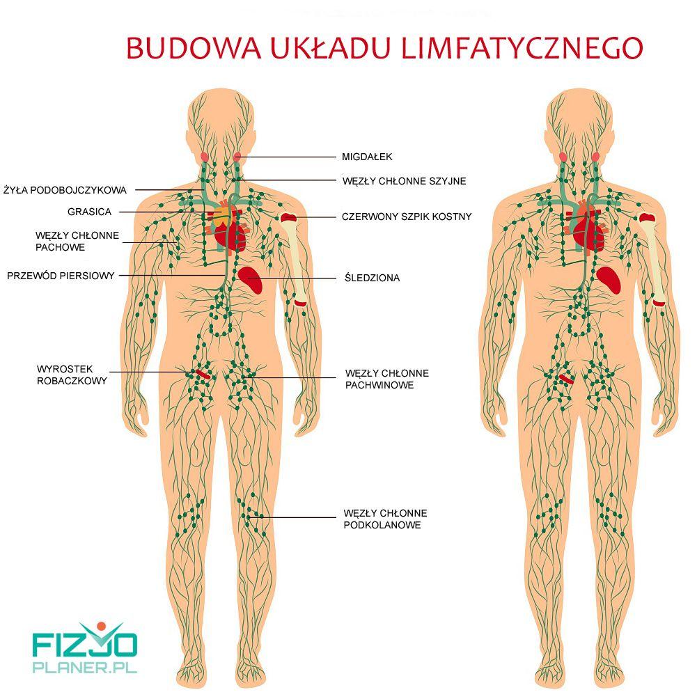 budowa ukladu limfatycznego