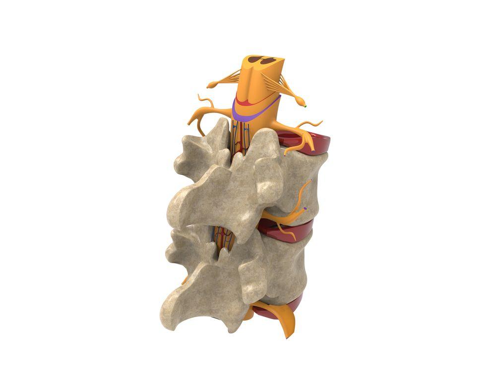 segment ruchowy kręgosłupa - kręgi