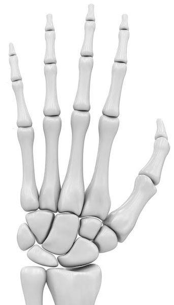 anatomia - dłoń
