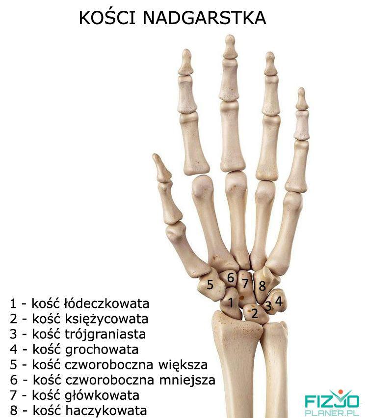 kości nadgarstka, anatomia